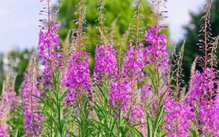 Иван-чай при гастрите: несколько рецептов лечебного растения