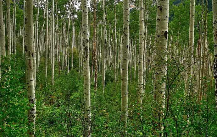 На каких деревьях ростет чага