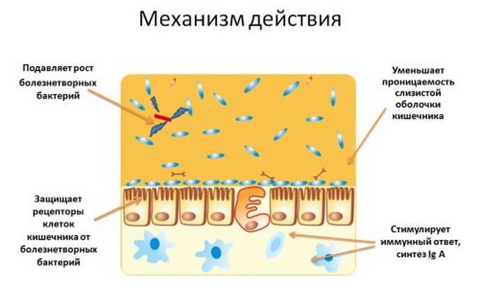 Механизм действия пробиотиков при дисбактериозе
