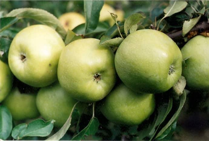Какие яблоки полезны при гастрите